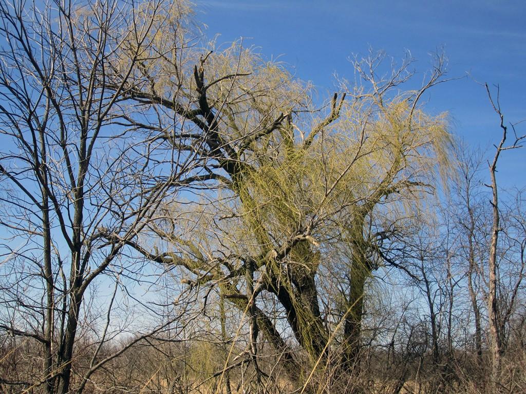 April 10th: Spring tree turning green