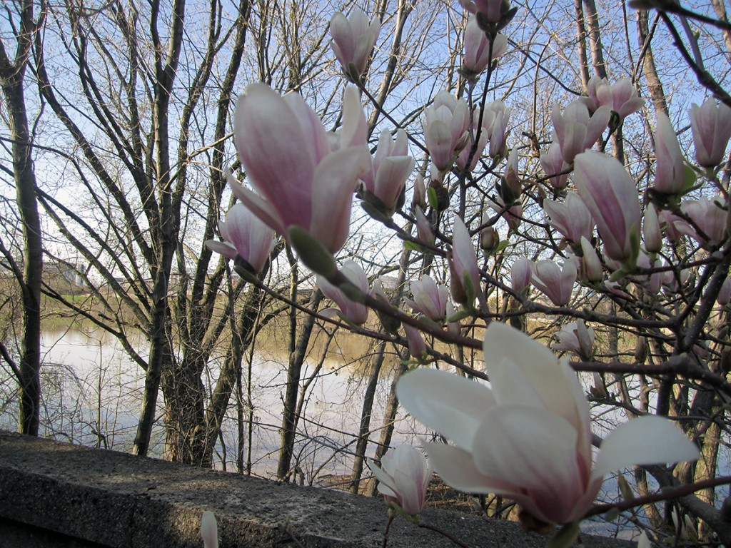 April 9th: Tulip tree